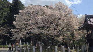 中将姫誓願桜(岐阜市大洞願成寺)の散り始め写真を撮ってきた