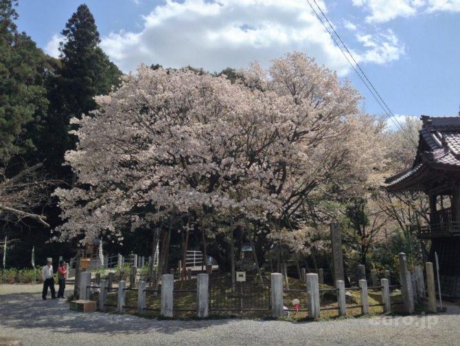 chujouhime-seigan-sakura-6