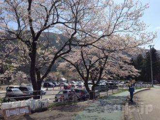 neodani-usuzumi-sakura-2