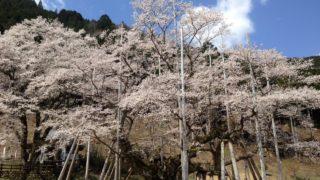 樹齢1500年の根尾谷淡墨桜(岐阜県本巣市)が見頃を迎えました