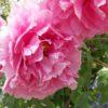 永沢寺花しょうぶ園のぼたん園(兵庫県三田市)の牡丹はまさに王の中の王だった!