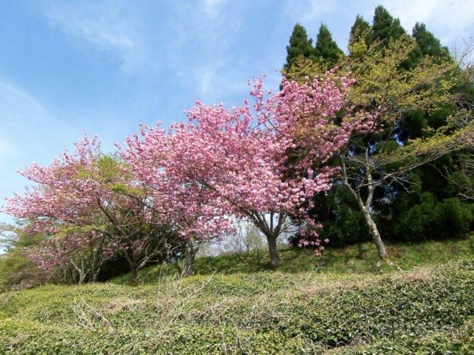 eitakuji-hanashoubuen-09