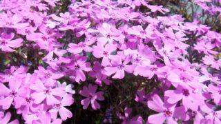 芝桜専門庭園「芝桜の大群落 花のじゅうたん」をみんなで見たらみんなハッピー