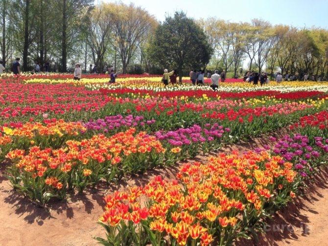 sera-kougen-farm-tulip-1