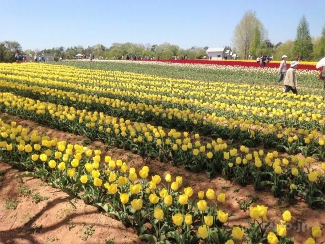 sera-kougen-farm-tulip-2