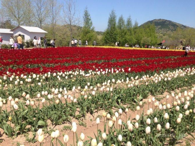 sera-kougen-farm-tulip-3