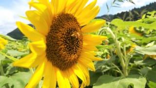 「さよう町のひまわり畑」で夏を感じよう!兵庫県佐用町にやってきました!